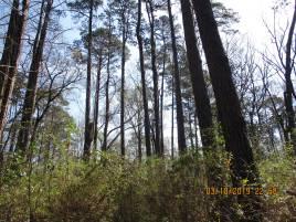 PinePlantation